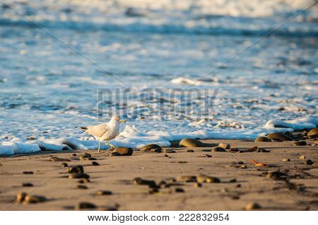 Grey and white seagull hurrying to stay ahead of the foamy water lapping on the beach shore.