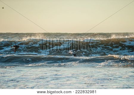 California Brown Pelican dropping down to surf the breaking waves as they soar across beach.