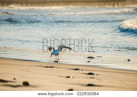 Seagull with wings spread landing on the wet sand along the beach shore.