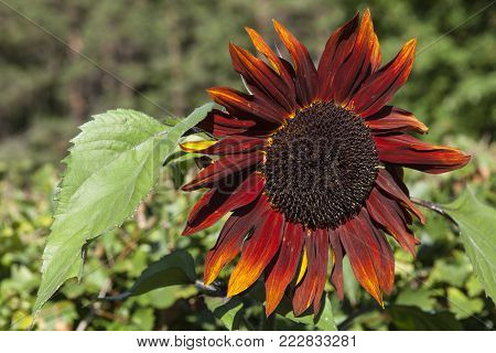 Closeup on a sunflower in red, orange. Common sunflower in bright sunshine. Green background.