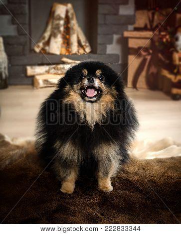 Pomeranian, Dwarf Spitz. Black miniature dog spitz