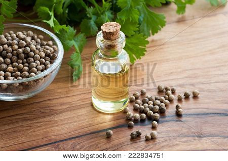 A bottle of coriander essential oil on a wooden table, with coriander seeds and fresh cilantro leaves in the background