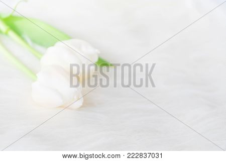 Non focus soft white background , white tulips with green branch with leaf put on white fur background, make feel warm and romantic in woman's day and valentine's day.