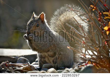 Sciurus carolinensis eastern gray squirrel or grey squirrel on a closeup backlit scene in garden