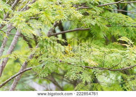 Male Island Canary Posing On A Tree Branch