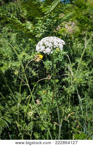 travel to France - white yarrow flower on meadow in Ploumanac'h site of Perros-Guirec commune on Pink Granite Coast of Cotes-d'Armor department in the north of Brittany in sunny summer day