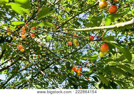 travel to France - red and yellow fruits on cherry tree in Cotes-d'Armor department of Brittany in sunny summer day