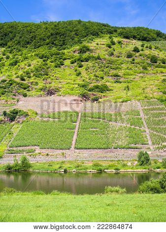 country landscape - vineyards on green slope along Mosel river in Cochem - Zell region on Moselle wine route in sunny summer day in Germany