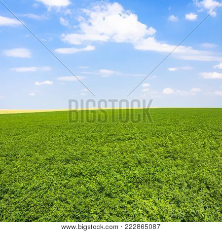 country landscape - view of green lucerne field under blue sky with white clouds near commune L'Epine Marne in sunny summer day in Champagne region of France