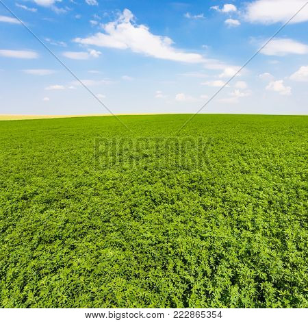 country landscape - green lucerne field under blue sky with white clouds near village L'Epine Marne in sunny summer day in Champagne region of France
