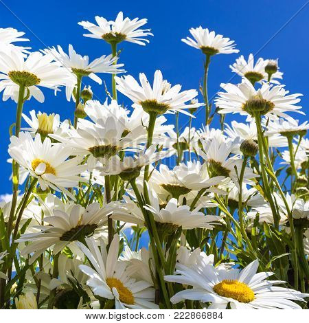travel to France - bottom view of many daisy flowers in Cotes-d'Armor department of Brittany in sunny summer day