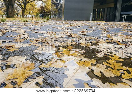 Oak leaves in autumn colors fallen onto pavement after rain. Small pools of water can be seen on textured leaves. Two people walking on the footpath in the distance. Canberra, Australia.