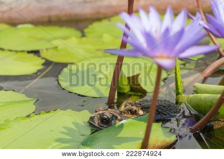 two toad in the water under violet lotus background