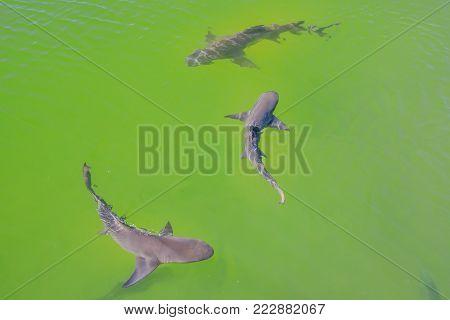 Three Lemon sharks swimming in Australian waters. Denham, in the Shark Bay, on coral coast, Western Australia. Sunny day, summer season.