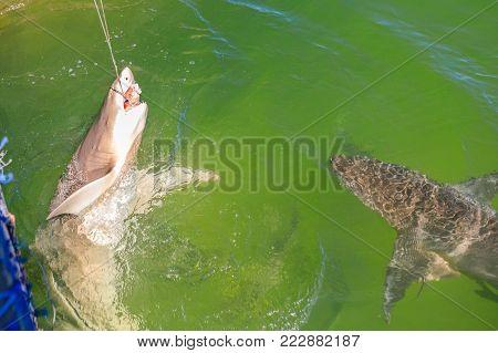 Shark feeding at aquarium. Denham, in the Shark Bay, on coral coast, Western Australia.