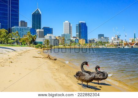 Two Black Swans on the shoreline of Swan River in Perth, Western Australia. Perth city skyline with its modern skyscrapers on background. Sunny day, blue sky.