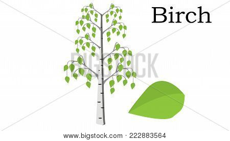 Birch  Trees vector element. vector icon green