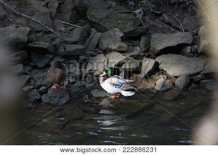 Ducks sitting on a riverbank in the sun
