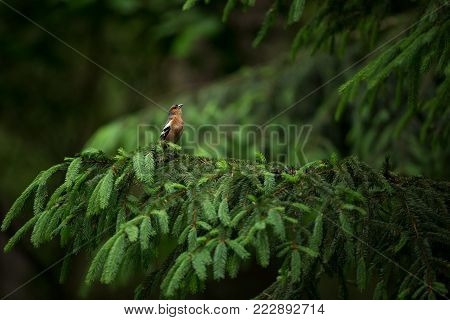 Fringilla coelebs. Photographed in the Czech Republic. Spring nature. From bird life. Bird on the tree. Green Tree. Beautiful picture. The wild nature of the Czech Republic. Europe. Czech Republic. Spring. Forest.