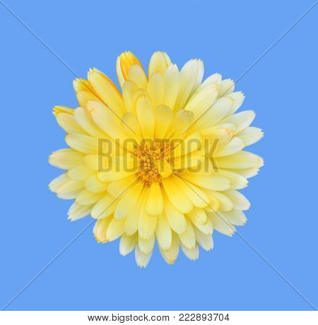 Gorgeous yellow Dahlia isolated on blue background close up. Dahlia is a genus of bushy, tuberous, herbaceous perennial plants native to Mexico. Garden flower plants.
