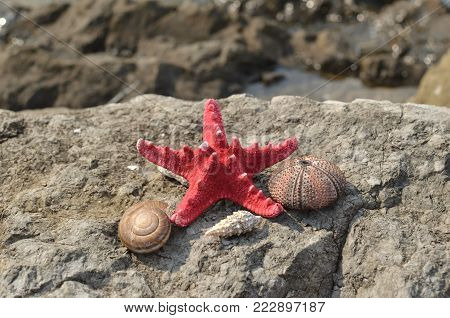 Dried red sea star and shells of a Sea Urchin and a winkle on a rocky beach