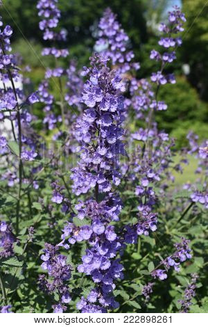 Vibrant Image of Lavender in the Spring