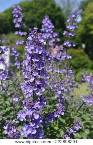 Really Beautiful Lavender Flowers in Full Bloom