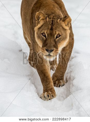 Lion, Panthera leo, Lionesse walking towards camera, in snow, white background. Captive animal in a zoo in Kristiansand, Norway, where the animals often choose to go outside in the cold snow even if they can stay inside.