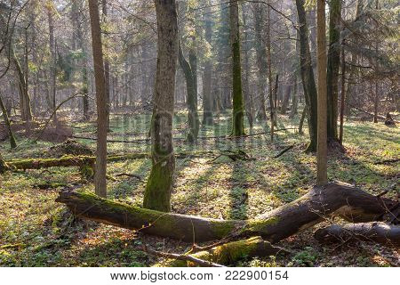 Springtime At Old Natural Forest With Dead Tree Trunk Lying In Foreground, Bialowieza Forest, Poland