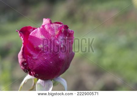 A beautiful photo of nature, a pink rose closed almost at the end of the day