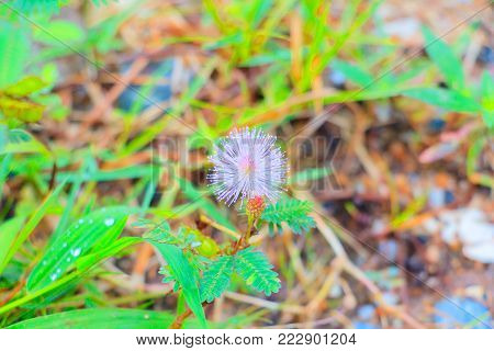 sensitive plant or mimosa pudica  flower pink beautiful in nature