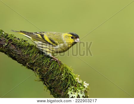 Eurasian Siskin (Carduelis spinus) on a mossy perch against green background, UK.