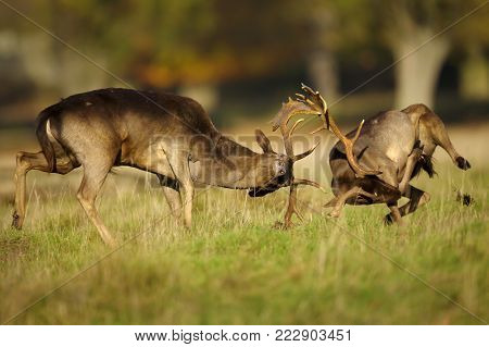 Two male fallow deer (Dama dama) fighting during rut in autumn, UK.
