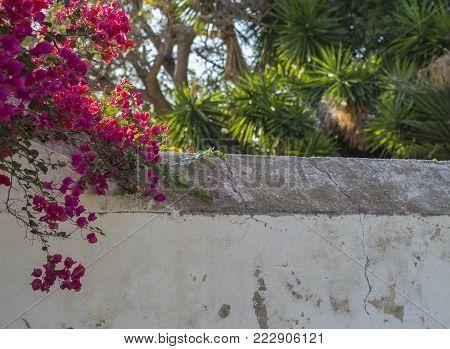 Close Up Macro Group Of Blooming Yellow Flower Brazilian Plum - Justicia Aurea Umbrosa Or Yellow Jac