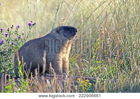 closeup big furry marmot on the meadow lies