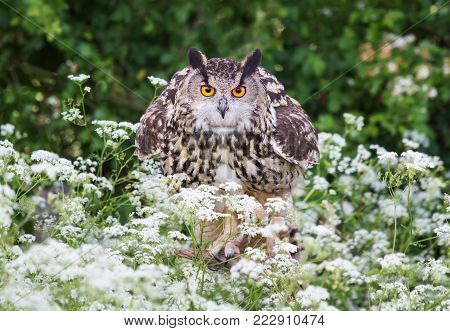 Close-up of Eurasian Eagle Owl (Bubo bubo) perching on a post in the meadow with white flowers. Summer in UK.