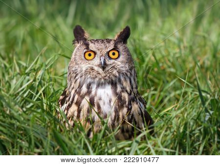 Close-up of Eurasian Eagle Owl (Bubo bubo) perching on a grass, UK.