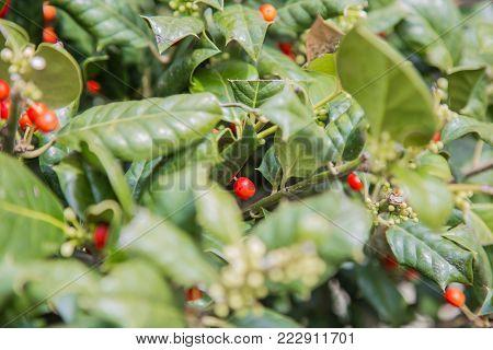 Holly berry in the foreground. Ilex aquifolium.