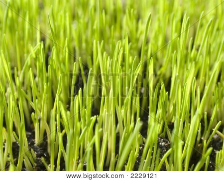 Young Grass