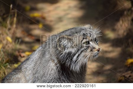 Close up side profile portrait of one cute Manul kitten (The Pallas's cat or Otocolobus manul) looking away, low angle view