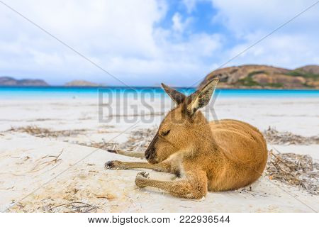 Close-up of kangaroo on white sand of Lucky Bay in Cape Le Grand National Park, near Esperance in WA. Lucky Bay is one of Australia's most well-known beaches. On blurred background the turquoise water