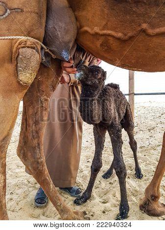Newborn Baby Camel