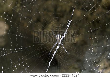 Big spider in Togian island forest, Indonesia