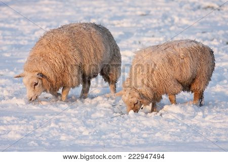 Dutch winter landscape with sheep in snow covered meadow searching for grass