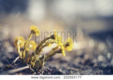 Yellow flowers coltsfoot (tussilago farfara) in the spring