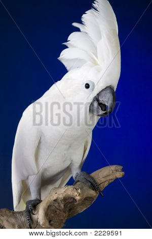 White Umbrella Cockatoo