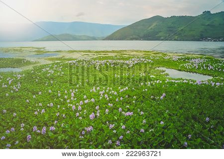 Wetlands on the shore of the magnificent Lake Toba on the Sumatra Island, Indonesia