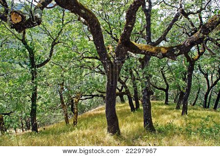live oaks in the hills of California