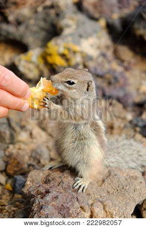 African ground squirrel eating a piece of tangering from the hand. Location the Canary Island Fuerteventura, Spain.