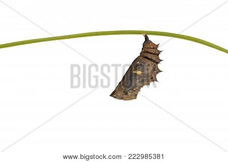 Mature Chrysalis Of Great Eggfly Butterfly ( Hypolimnas Bolina Linnaeus ) Hanging On Twig